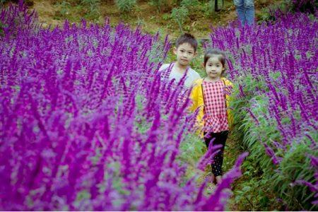 """Thả hồn vào cánh đồng hoa tím được gọi """"lavender"""" đẹp mê mẩn ở Bắc Hà Lào Cai"""