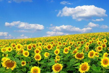 Tour ngắm cánh đồng hoa Hướng Dương Nghĩa Đàn - Nghệ An  1 ngày