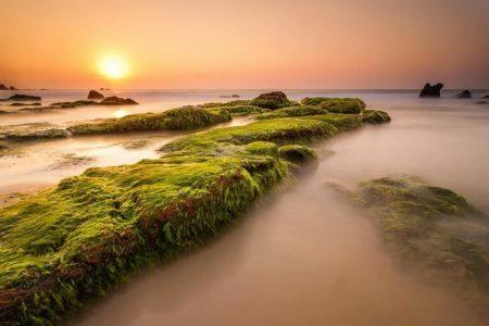 Săn rêu ở biển Cổ Thạch